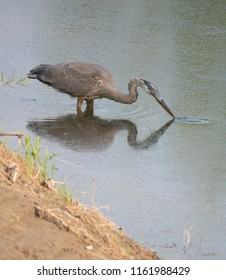 A Great Blue Heron wading near the shore with its beak touching the water. Its reflection shown in the water.