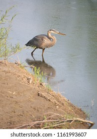 A Great Blue Heron wading near the shore with its reflection shown in the water.