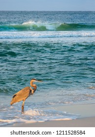 Great Blue Heron Wading in the Surf as the Waves Break on a Florida Beach