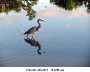 Great blue heron waiting for fish in a lake