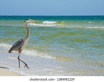 A Great Blue Heron Walking Down a Beautiful White Sand Florida Beach