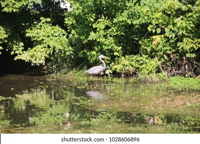 Great Blue Heron watching, stalking and hunting prey/fish to eat in pond at Silver Lakes mobile home community in Clarksville, Indiana. eating fish