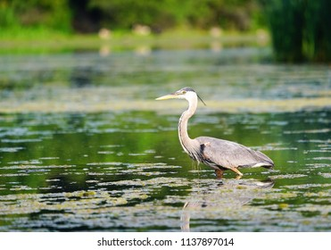 Great Blue Heron in Wisconsin