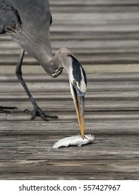 Great blue heron with a yellow beak close up grabbing a fish with its beak on a wooden walkway.