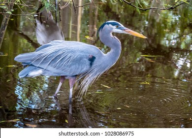 great blue heron,Ardea herodias is a large wading bird in the heron family Ardeidae,