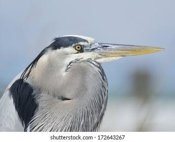 Great Blue Heron,Close Up