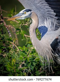 Great blue herons and anhingas prepare nests at Venice Rookery
