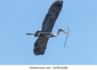 Great Blue Herons building nests at a Heron Rookery in the Cuyahoga National Park