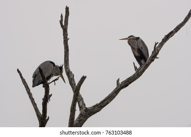 Great Blue Herons sharing a dead tree.