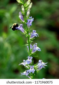 Great blue lobelia (lobelia siphilitica) flower being pollinated by bumble bee. Tall blue flower of bell (campanula) family being pollinated. Green background. Taken in August in Wisconsin (USA).