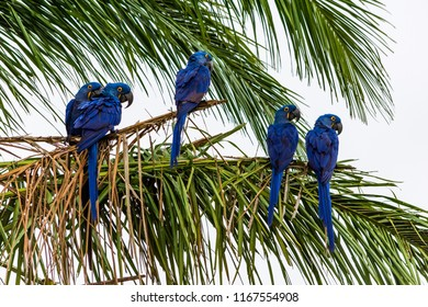 Great Blue Macaw, algo known as Arara Azul grande, at Pantanal  Sul, Mato Grosso do Sul, Brazil