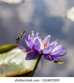 Great Blue Skimmer Dragonfly Libellula vibrans  on Purple and white water lily Nymphaea blooms in a pond with lily pads in southern Florida in summer.