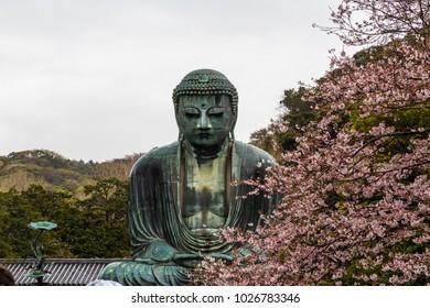 The Great Buddha in Kamakura Japan.The foreground is cherry blossoms.It's raining.Located in Kamakura, Kanagawa Prefecture Japan.