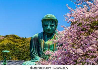 The Great Buddha in Kamakura Japan.The foreground is cherry blossoms.Located in Kamakura, Kanagawa Prefecture Japan.