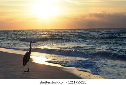 Great Bue Heron on a Florida Beach as the Sun Rises