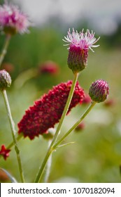 Great burnet Sanguisorba officinalis Greater burnet flower