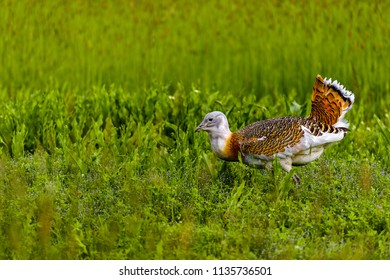 The Great Bustard (Otis tarda) is one of the largest species of European bird. Male Great Bustards are also the heaviest of all flying birds.