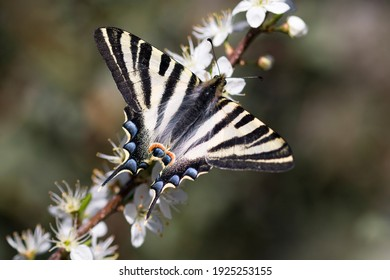 great butterfly ridding on blackthorn flowers. Black and white arthropod - Shutterstock ID 1925253155