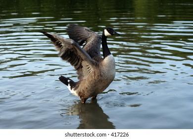 Great Canada goose