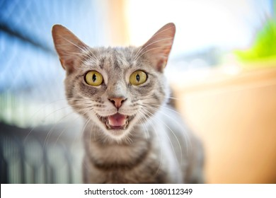 Great cat meowing