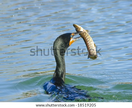 Great catch - cormorant with pike in beak