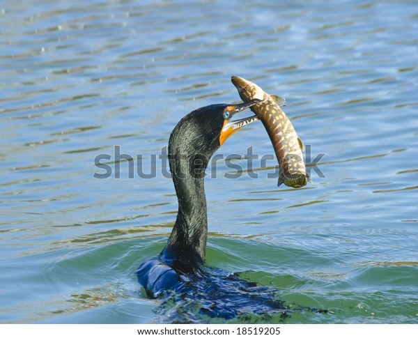 Great catch - cormorant with pike in beak