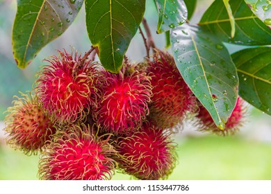 Great close-up of ripe rambutan fruits (Nephelium lappaceum) hanging on a tree in Malaysia. The leathery skin is reddish, and covered with fleshy pliable spines, hence the name, which means 'hairs'.
