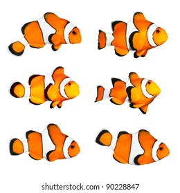 Great collection of a tropical reef fish - Clownfish (Amphiprion ocellaris) - isolated on white background.