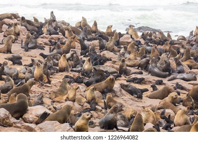 Great colony of brown fur seals (Arctocephalus Pusillus) during the breeding season with pups at Cape Cross in Namibia, Africa