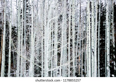 Great contrast of the white birch trees with the surrounding background.