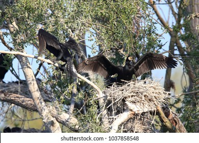 great cormorant (Phalacrocorax carbo) Colony, Baden-Wurttemberg,Germany
