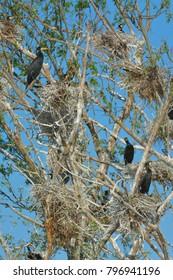 Great cormorant (Phalacrocorax carbo) colony