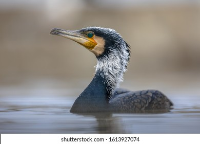 Great cormorant (Phalacrocorax carbo) male in breeding plumage at Lake Csaj, Kiskunsagi National Park, Pusztaszer, Hungary. February. It is found in Europe, Asia, Africa, Australia and North America.