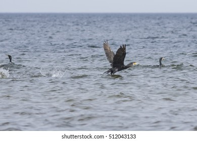Great cormorant, Phalacrocorax carbo, take off from water, close-up portrait with defocused background, selective focus, shallow DOF.