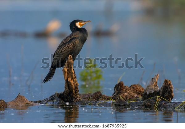 Great Cormorant stands on a branch. Beautiful wild bird from Kerkini lake in Greece.