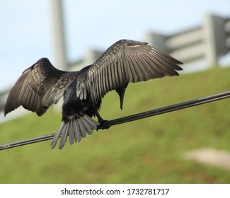 Great Cormorant/Black Shag,(Phalacrocorax Carbo) spreading wings