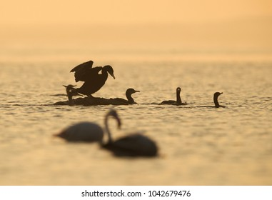 Great Cormorants in the morning at Asker, Bahrain