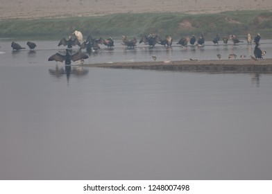 Great cormorants (Phalacrocorax carbo) and waders. Yamuna river. Agra. Uttar Pradesh. India.