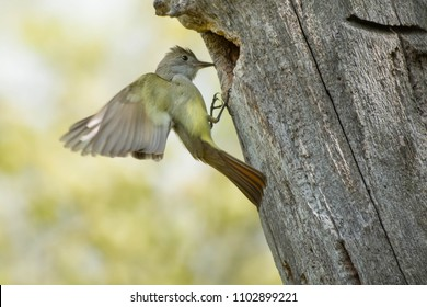 Great Crested Flycatcher arriving at its nest cavity in an old dead tree. High Park, Toronto, Ontario, Canada.