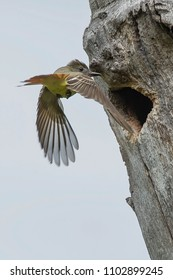 Great Crested Flycatcher flying back to its nest. High Park, Toronto, Ontario, Canada.