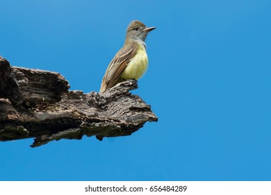 Great Crested Flycatcher perched high up on a rotting tree branch.