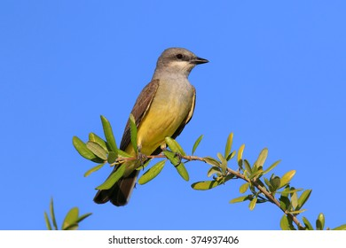 Great Crested Flycatcher Perched on Branch Against Blue Sky Background.