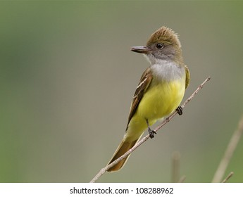 Great Crested Flycatcher with yellow breast facing camera