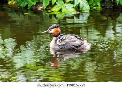 great crested grebe baby, swimming on a lake