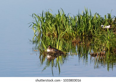 Great crested grebe at a birdnest at spring