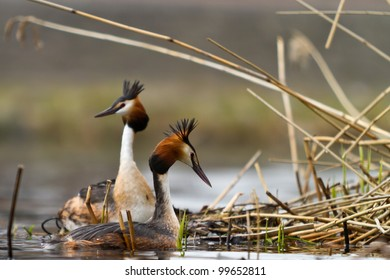 great crested grebe building nest