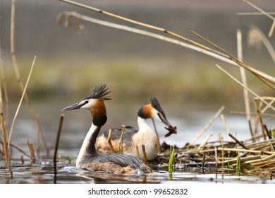 great crested grebe couple building nest
