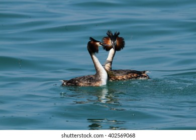 great crested grebe courting display in spring lakes and ponds in Europe Italy