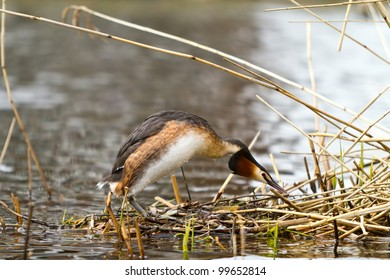 great crested grebe going to the nest