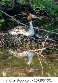 A Great Crested Grebe hatches its eggs